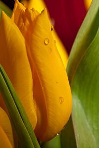 026 - Tulips --------------- Un peu de couleur pour changer du gris de l'hiver.  Some bright colors to change from the dull winter.